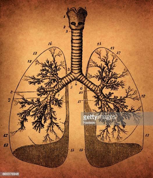 human lungs anatomy - inhaling stock illustrations