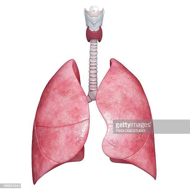 ilustraciones, imágenes clip art, dibujos animados e iconos de stock de human lungs, artwork - pulmones humanos
