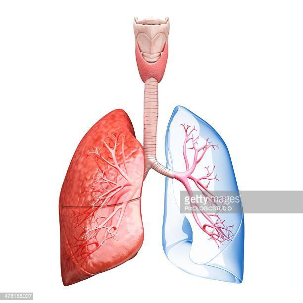 Human Lung Stock Illustrations And Cartoons | Getty Images