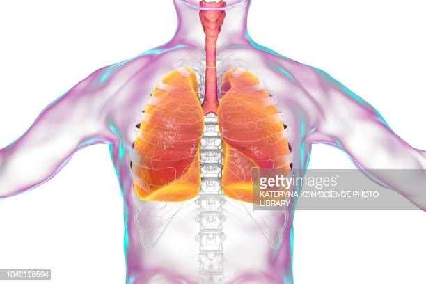 human lungs, illustration - cardiopulmonary system stock illustrations, clip art, cartoons, & icons