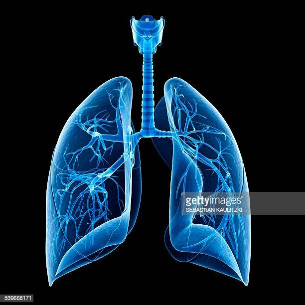 human lungs, illustration - lung stock illustrations