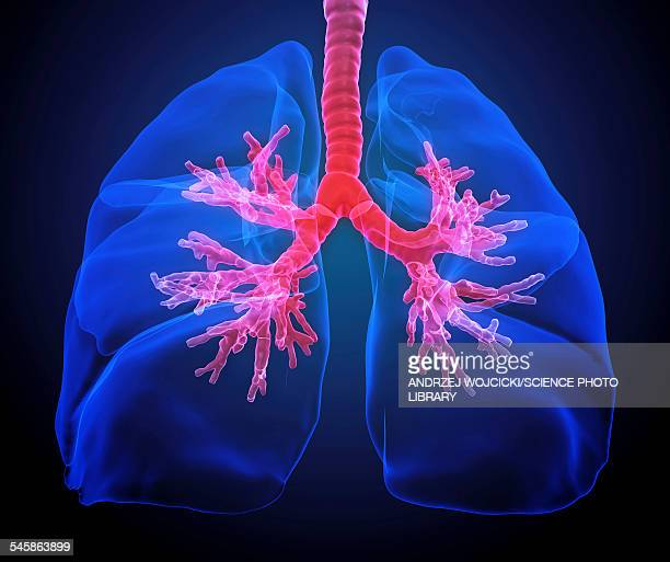 human lungs, illustration - respiratory system stock illustrations, clip art, cartoons, & icons
