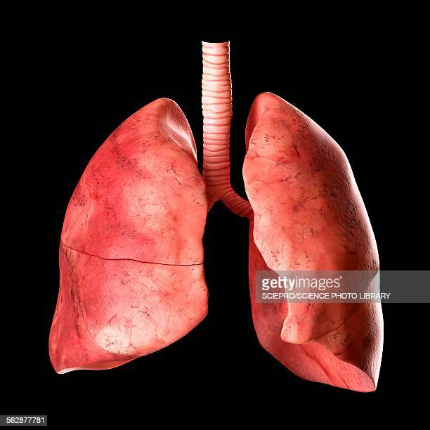 World U0026 39 S Best Human Lung Stock Illustrations