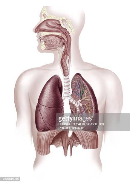 ilustraciones, imágenes clip art, dibujos animados e iconos de stock de human lungs, illustration - sistema respiratorio