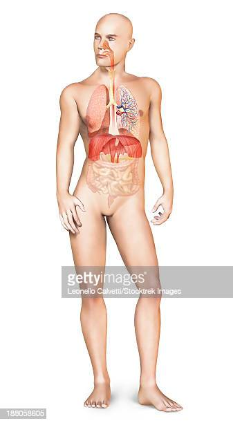 human male body standing, with full respiratory system superimposed. - nasal passage stock illustrations