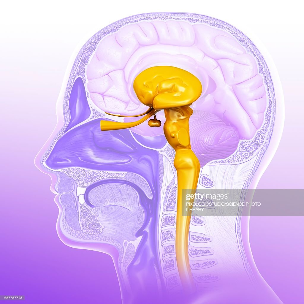 Human Midbrain Anatomy Illustration Stock Illustration Getty Images