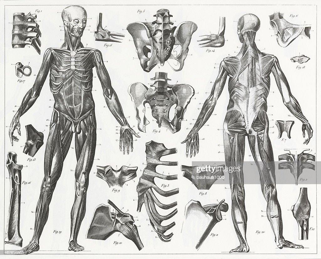 Los músculos y Ligaments grabado : Ilustración de stock