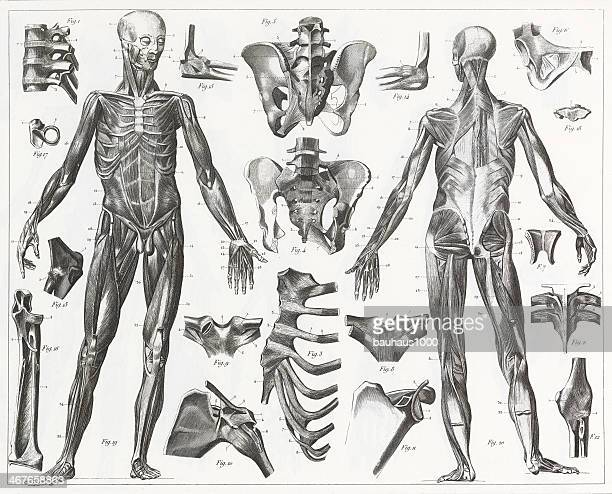 human muscles and ligaments engraving - human muscle stock illustrations