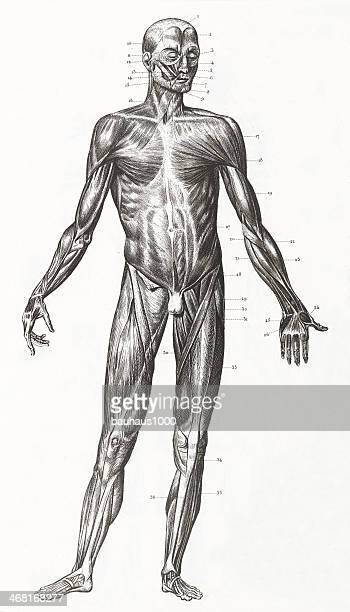 Human Muscles and Ligaments Engraving