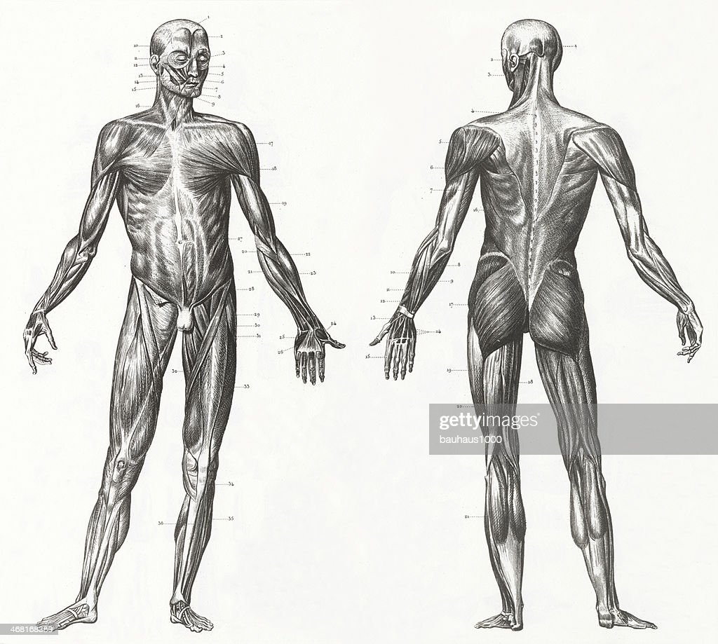Human Muscles and Ligaments Engraving : Stock Illustration