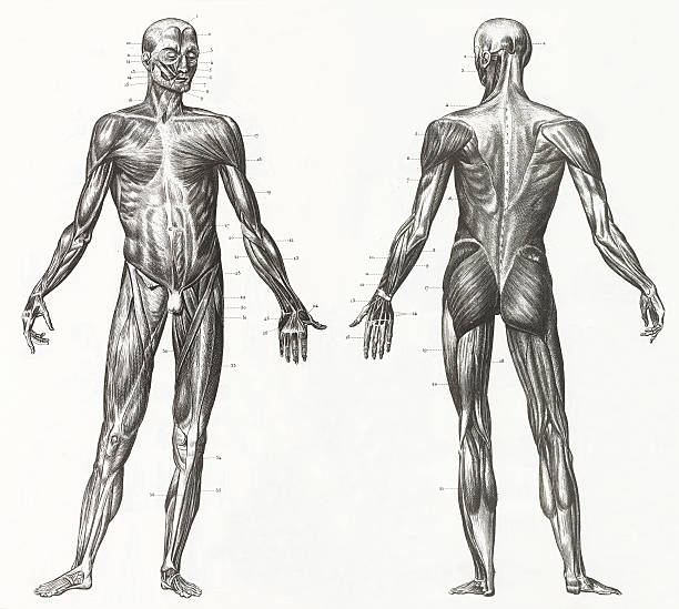 human muscles and ligaments engraving - human body part stock illustrations