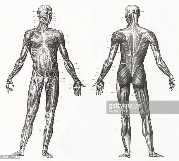 human muscles and ligaments engraving - the human body stock illustrations