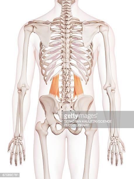 ilustrações, clipart, desenhos animados e ícones de human muscles - parte do corpo humano