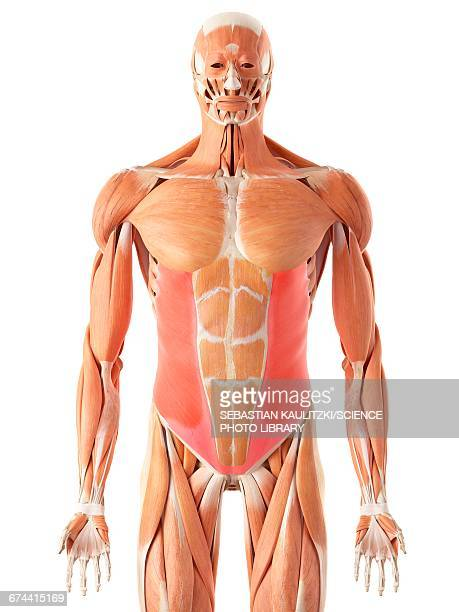 Oblique Muscle Stock Illustrations And Cartoons Getty Images