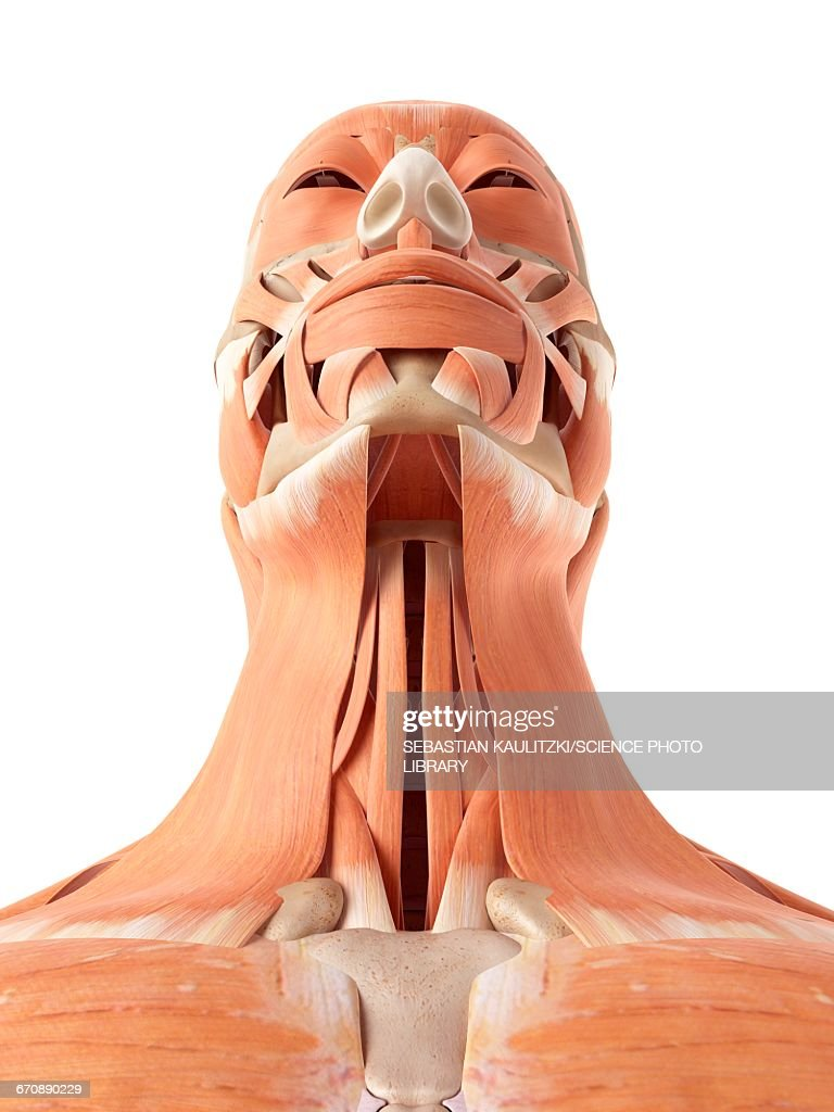 Human Muscles Of Face And Throat Stock Illustration Getty Images