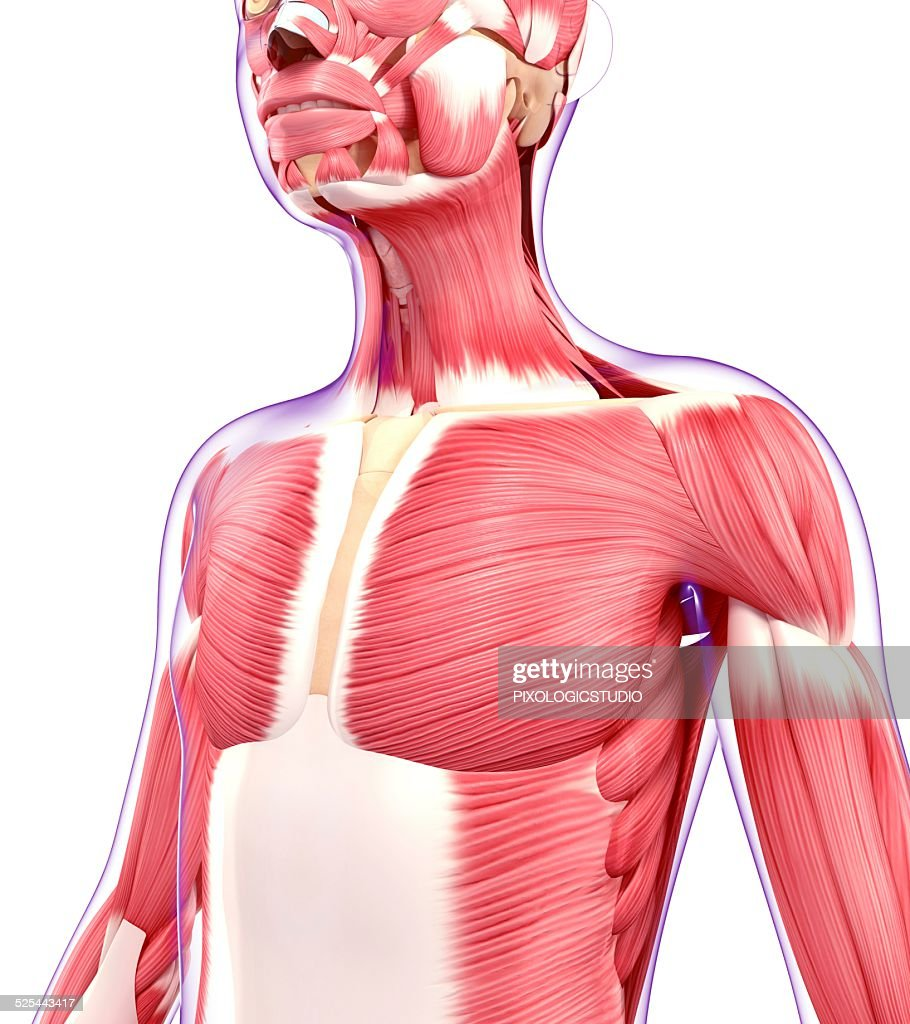 Human Muscular System Artwork Stock Illustration Getty Images