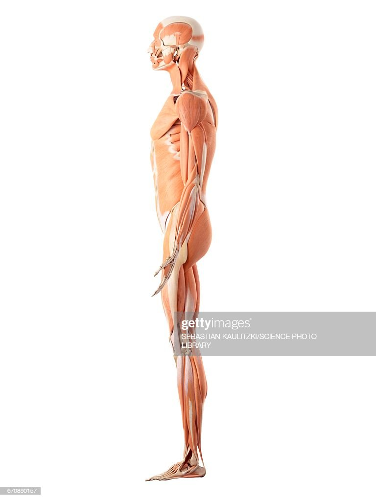 Human Muscular System Stock Illustration | Getty Images