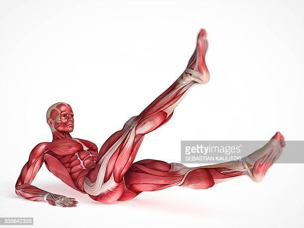 ilustrações, clipart, desenhos animados e ícones de human muscular system, illustration - perna humana