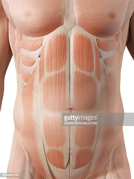 human muscular system, illustration - abdominal muscle stock illustrations, clip art, cartoons, & icons