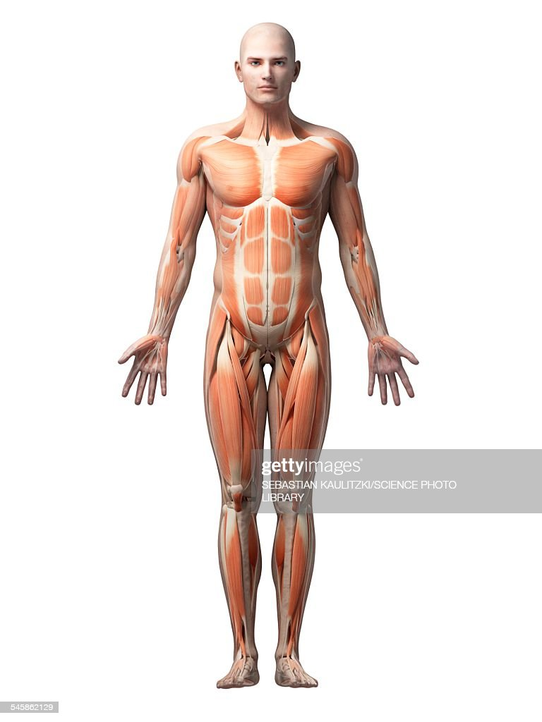 Human Muscular System Illustration Stock Illustration Getty Images