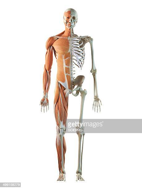 Human musculoskeletal system, artwork