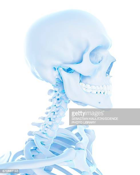 Neck Anatomy Stock Photos And Pictures Getty Images
