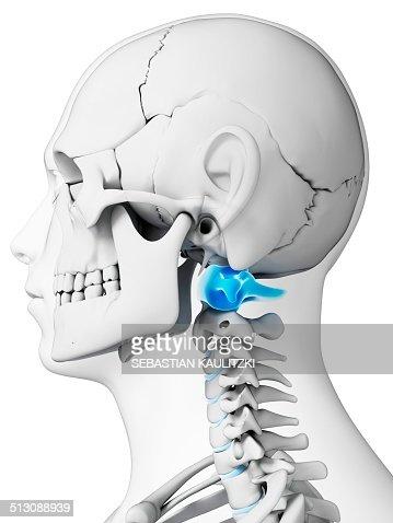 Human Neck Bones Illustration Stock Illustration Getty Images