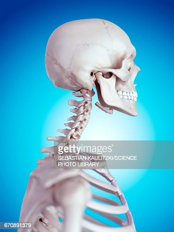 Human Neck Bones Stock Illustration Getty Images