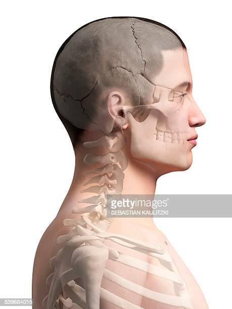 Human neck bones illustration stock illustration getty images keywords ccuart Choice Image