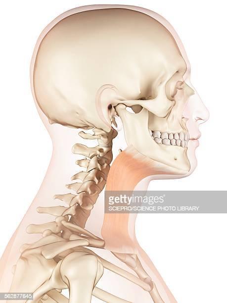Human neck muscles, illustration