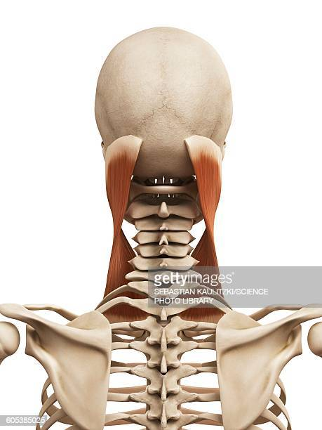 human neck muscles, illustration - human muscle stock illustrations