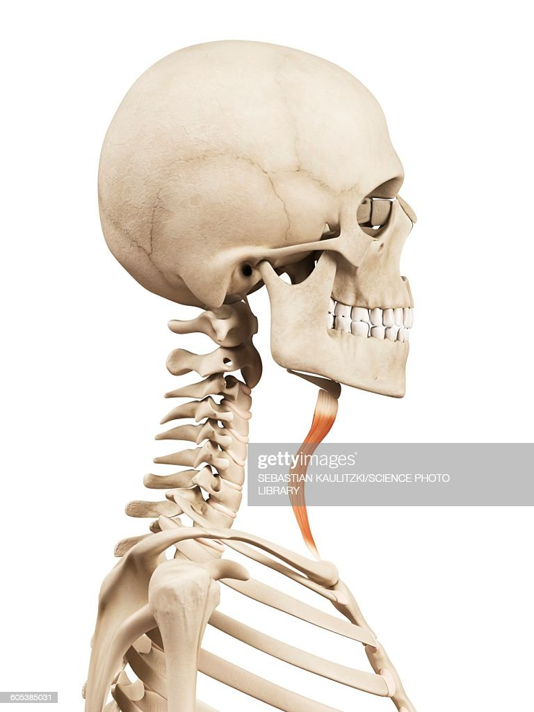 Human Neck Muscles Illustration Stock Illustration Getty Images
