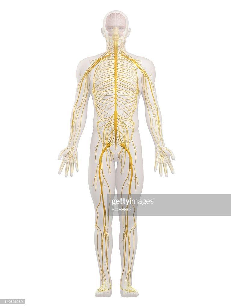 Central Nervous System Stock Illustrations And Cartoons | Getty Images