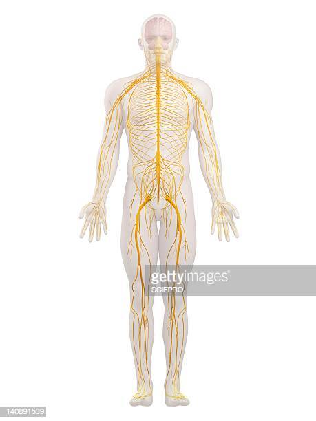 ilustrações de stock, clip art, desenhos animados e ícones de human nervous system, artwork - sistema nervoso central