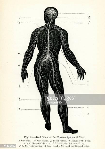 human nervous system - medical diagram stock illustrations, clip art, cartoons, & icons