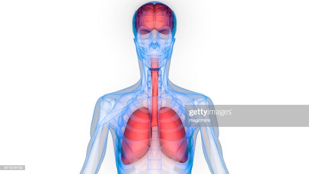 Anatomie Der Menschlichen Organe Stock-Illustration | Getty Images
