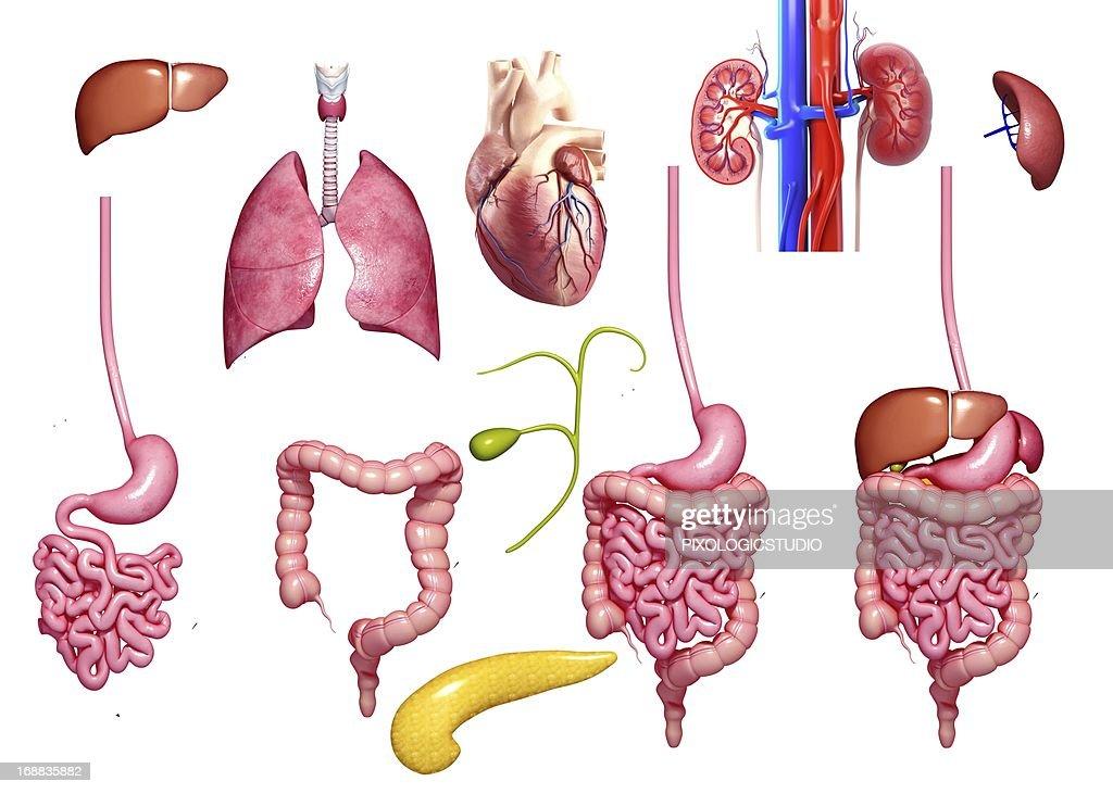 Human Organs Artwork Stock Illustration Getty Images