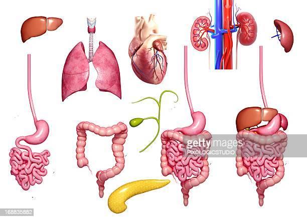 human organs, artwork - large intestine stock illustrations