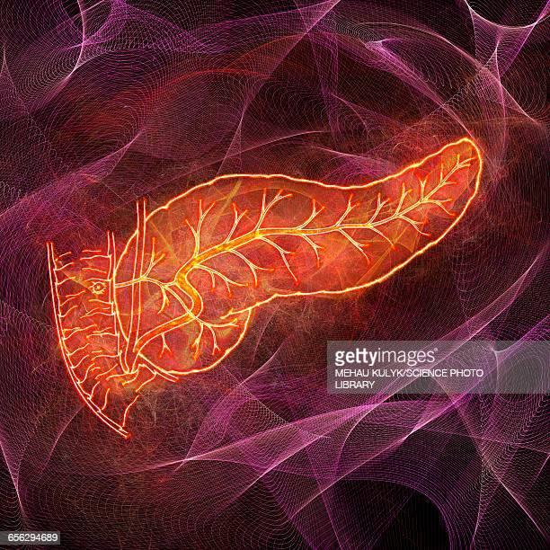 human pancreas, illustration - pancreas stock illustrations