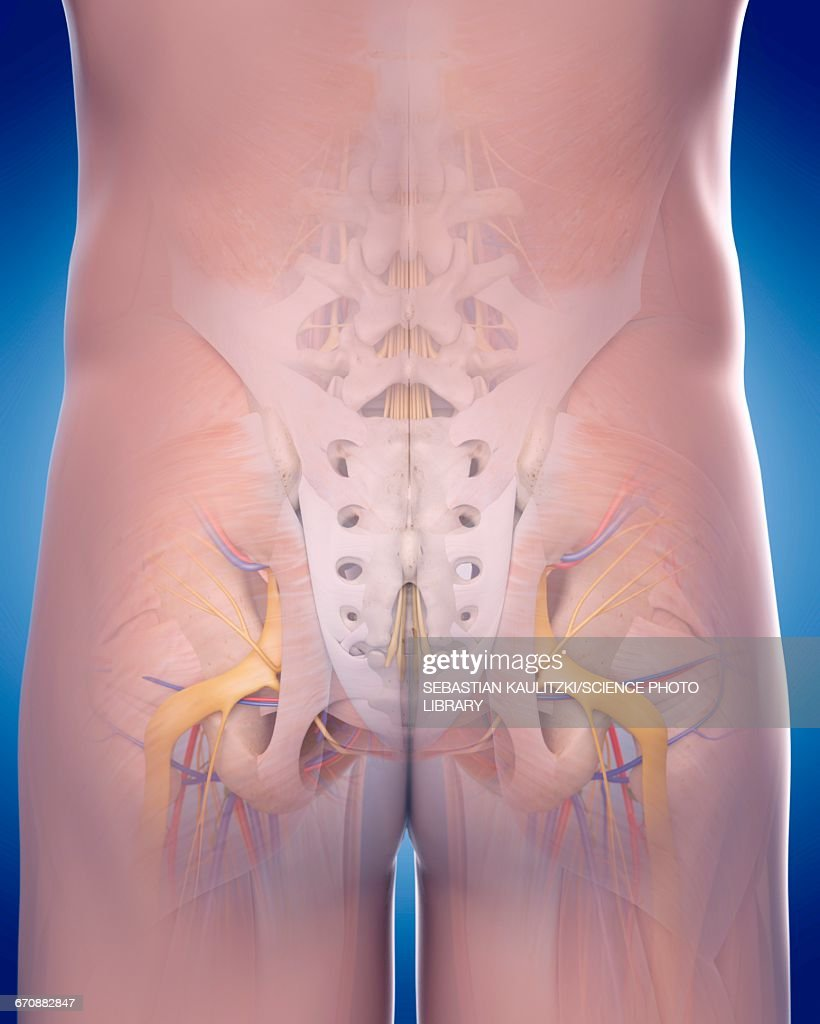 Human Pelvic Anatomy Stock Illustration Getty Images
