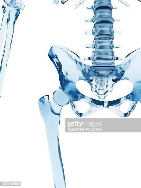 ilustraciones, imágenes clip art, dibujos animados e iconos de stock de human pelvic bones, illustration - femur