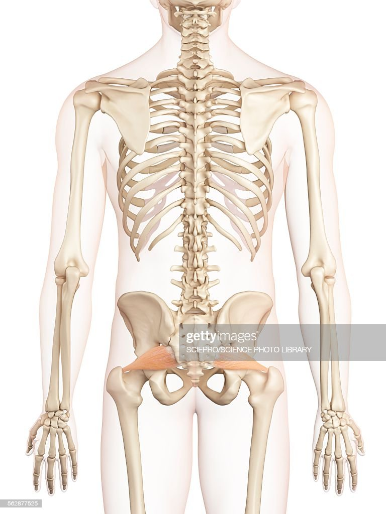 Unique Pelvic Muscles Photos - Physiology Of Human Body Images ...
