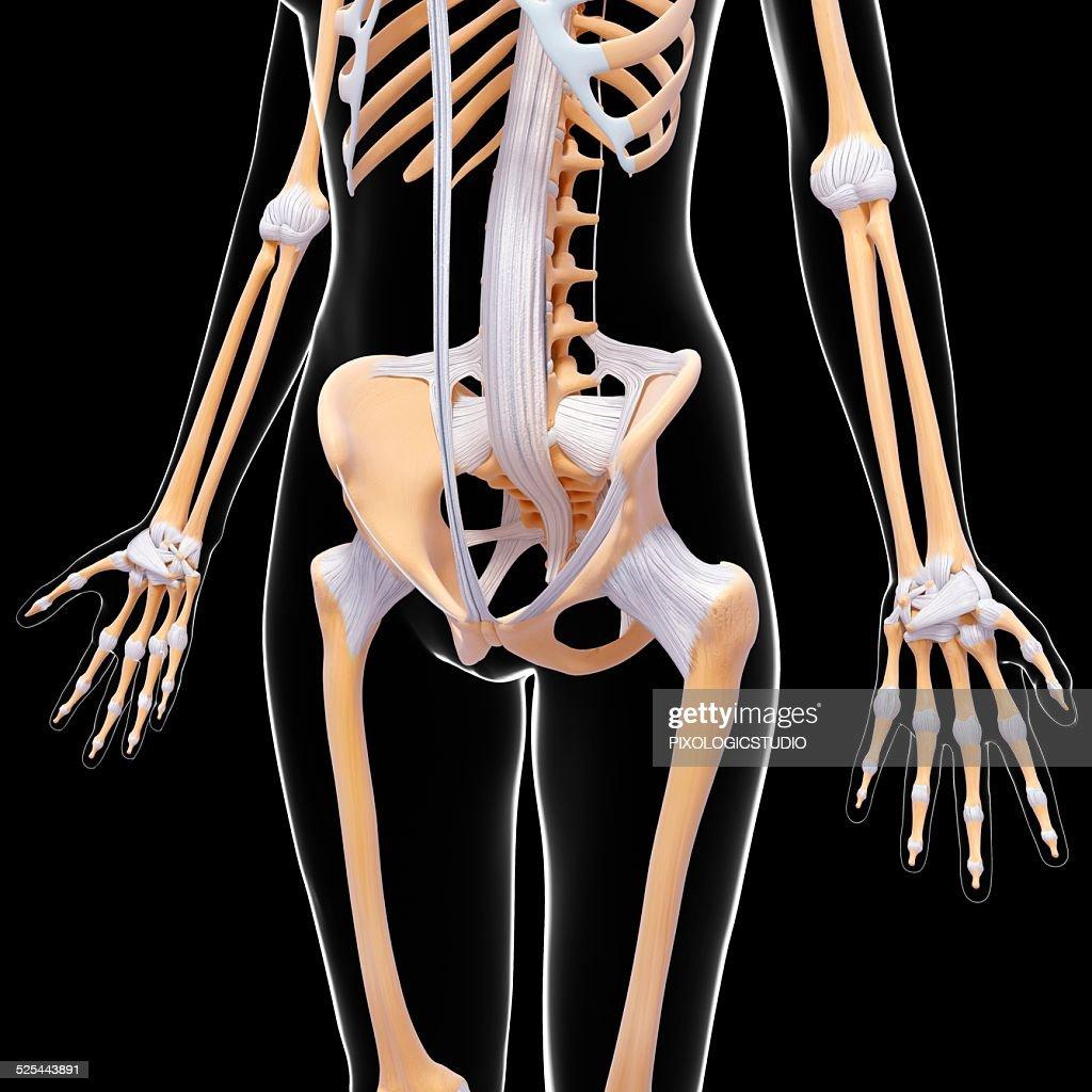 Human Pelvis Artwork Stock Illustration Getty Images