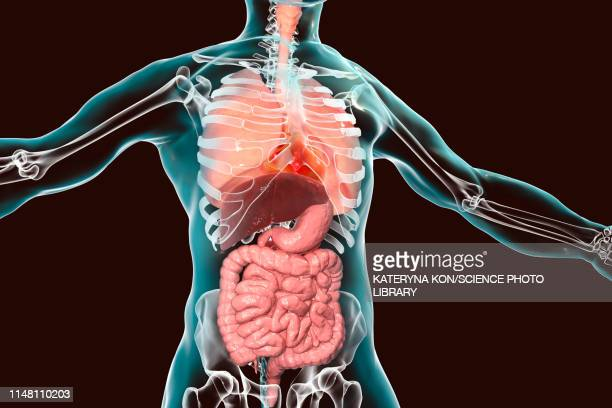 human respiratory and digestive systems, illustration - human intestine stock illustrations