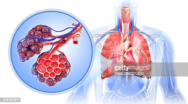 Alveolus Stock Illustrations And Cartoons | Getty Images