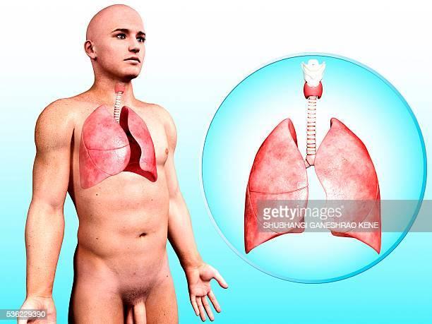 ilustraciones, imágenes clip art, dibujos animados e iconos de stock de human respiratory system, computer artwork. - sistema respiratorio