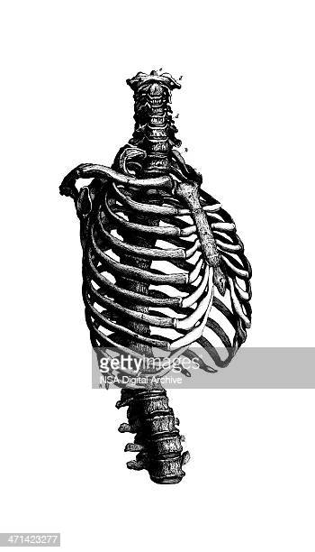 human rib cage  | antique medical scientific illustration charts - chest torso stock illustrations, clip art, cartoons, & icons
