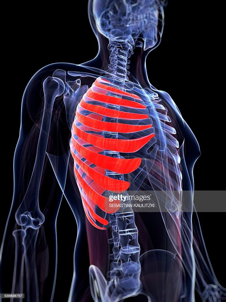 Human Rib Muscles Artwork Stock Illustration | Getty Images