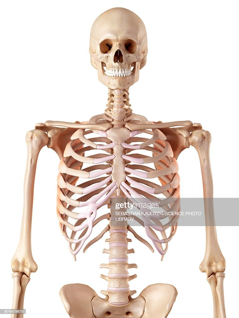 Human Rib Muscles Stock Illustration | Getty Images