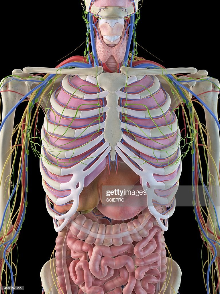 Human Ribcage And Organs Artwork High Res Vector Graphic Getty Images